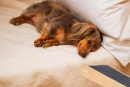 How To Train Your Dachshund To Use A Dog Ramp