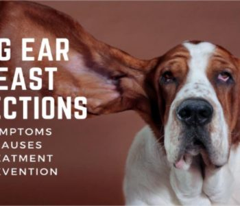 Dog Ear Yeast Infections: Symptoms, Causes, Treatment & Prevention