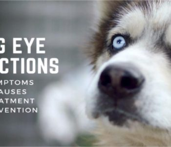 Dog Eye Infections: Symptoms, Causes, Treatment & Prevention