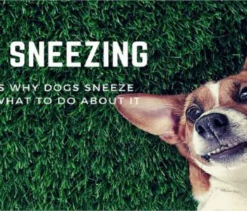 Dog Sneezing? Here's Why Dogs Sneeze – And What To Do About It