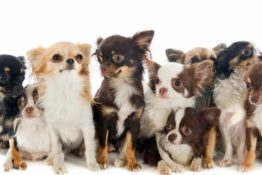 10 Facts You Should Know About The Chihuahua Mix (with Pictures)