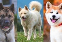 39+ Akita Mix Breeds: A Pet Parent Guide