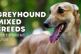 40+ Greyhound Mix Breeds