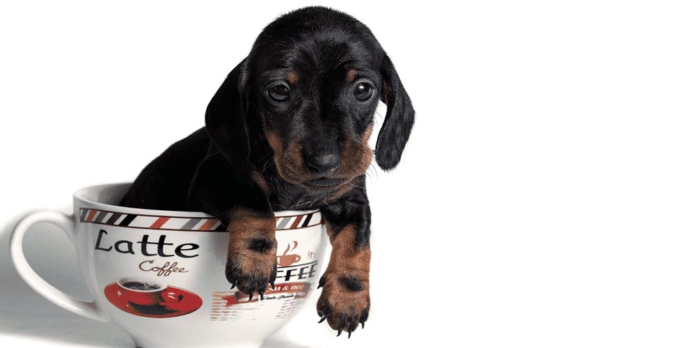Teacup Dachshund: Are They Your Cup of Tea?