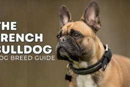 French Bulldog Breed Guide