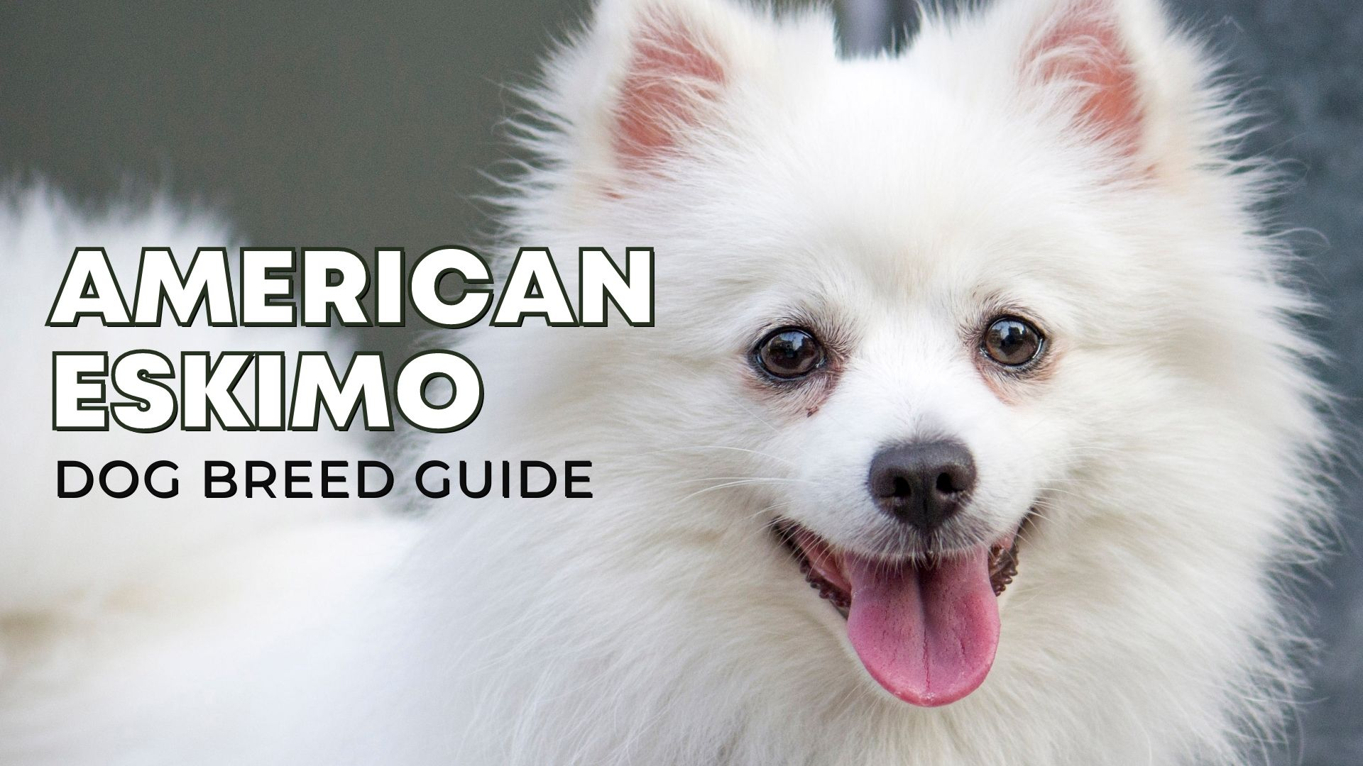 American Eskimo Dog Breed Guide: Facts, Health and Care