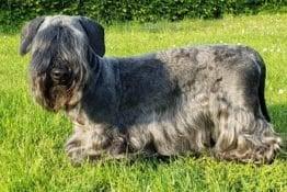Cesky Terrier Dog Breed Guide: A Pet Parent Guide