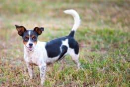 Rat Terrier Dog Breed: A Pet Parent Guide